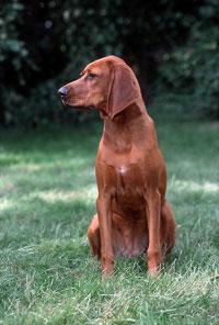 Redbone Coonhound dog breed