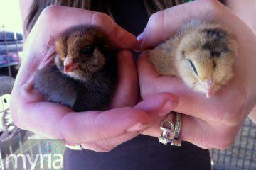 baby-chickens-chicks-americauna