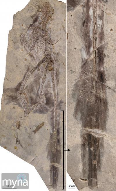 dinosaur Changyuraptor feather detail
