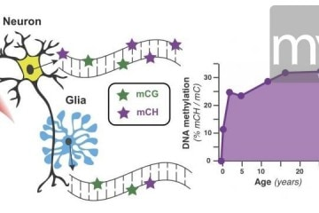 methylation sites in genomes of neurons and glia in the frontal cortex